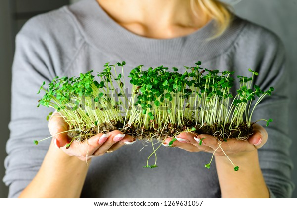 cilantro de corundum microverde brota en manos hembras brotes crudos, microvegetales, concepto de alimentación saludable