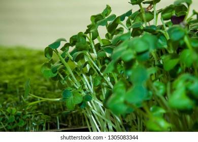Microgreen of daikon