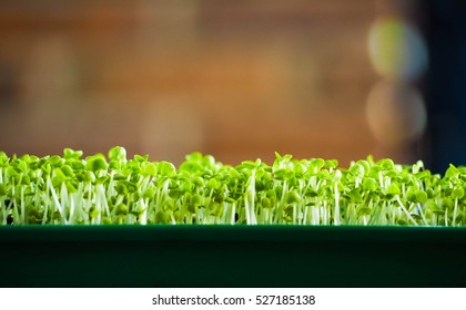 microgreen field, Group of green sprouts growing out from soil, baby vegetables in sunshine.