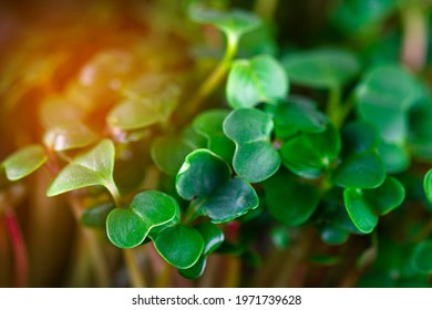 Microgreen foliage background. Close-up of 6 days radish microgreen. Germinating seeds at home. Vegan and healthy food concept. Radish sprouts obtained from high quality seeds of organic plants