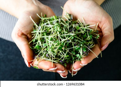 microgreen mustard sprouts in the hands of a woman Raw sprouts, microgreens, healthy eating concept and organic restaurant cooking advertisement