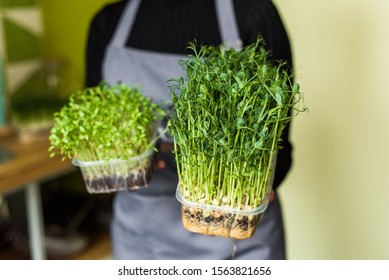 microgreen pea sprouts, microgreen beetroot sprouts, rare microgreen sprouts in female hands, raw food, ssalat, ecofrendli, superfood