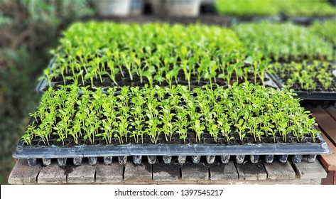 The microgreen in plastic trays for planting young plants. Microgreen are  young vegetable green  or sprouts, raw living  sprouts vegetable germinated from quality organic plants seeds.