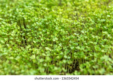 Microgreen sprouts raw sprouts, healthy eating concept