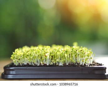 Microgreen in tray, Group of green sprouts growing out from soil, baby vegetables in sunshine.