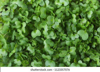 Microgreens Foliage Background. Young Fresh Potted Water Cress. Gardening Healthy Plant Based Diet Food Garnish Concept. Minimalist Style. Top View Flat Lay. Poster Banner Streamer