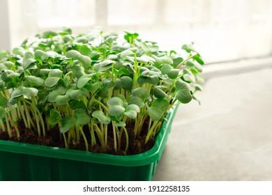 Microgreens growing on windowsill. Micro green radish growing in box. selective focus