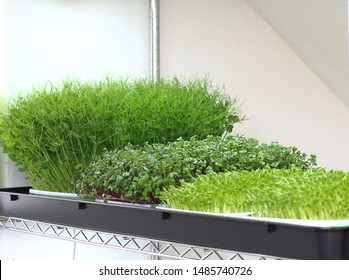 microgreens growing in trays on a shelf