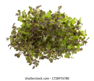 Microgreens - mustard seedlings, seed germination at home, sprouted mustard seeds isolated on white.  Vegan, vegetarian and healthy eating concept. Top view. Gardening concept.