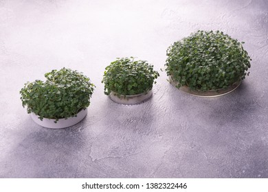Microgreens in round three containers on bright textured surface. Raw sprouts, microgreens, healthy eating concept. Science, biology.