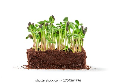 Microgreens sprouts isolated on white background. Vegan micro sunflower greens shoots. Growing healthy eating concept. Sprouted sunflower seeds, eco soil substrate, microgreens, minimal design