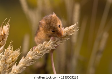 Micromys minutus or Harvest Mouse in wheat field
