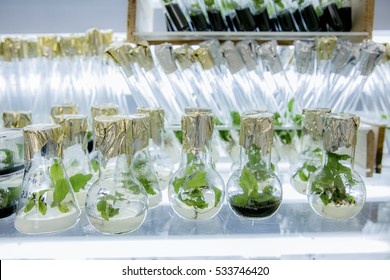 Microplants poplar grown in flasks with nutrient medium using micropropagation technology in vitro