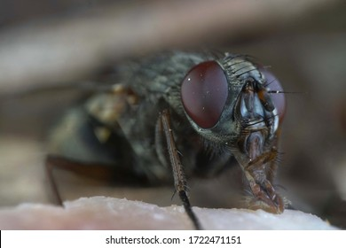 Microscopic Close Up Look At A Common Housefly Pest