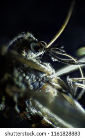 Microscopic image of mosquito, dark field technique, extreme close-up