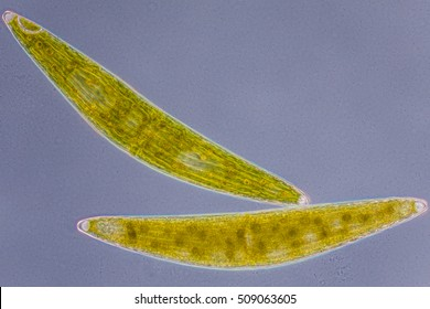 a microscopic organism Chlorophytes Closterium spec. - focus to cell wall, nucleus, pyrenoid, vesicle with phase contrast, culture material