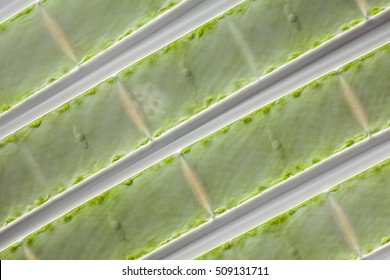 a microscopic organism green algea Spirogyra, focus to cell wall, nucleus, cytoplasm strand, mucilage, vacuole with DIC differential interference contrast, culture material