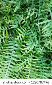 Microsorum diversifolium fern plant