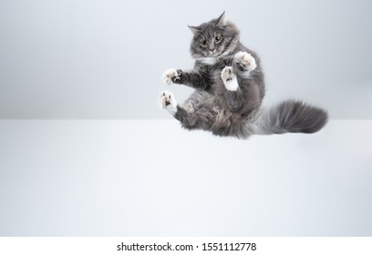 mid air shot of playful blue tabby maine coon cat with white paws flying in front of white background