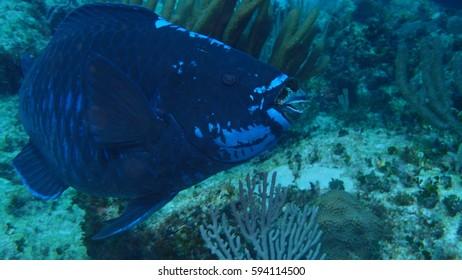 mid night parrot fish