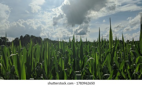 Mid-afternoon sun peaking through the clouds on a cornfield in mid-Michigan