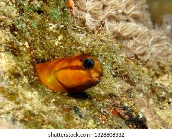 Midas Blenny, (Ecsenius midas). Taken in Red Sea, Egypt.