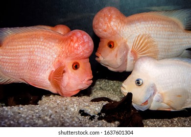 Midas cichlid fish Amphilophus citrinellus - Shutterstock ID 1637601304
