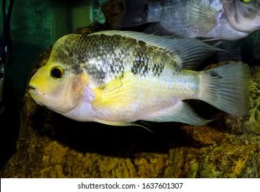 Midas cichlid fish Amphilophus citrinellus - Shutterstock ID 1637601307