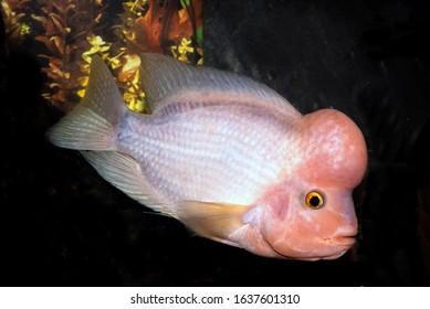 Midas cichlid fish Amphilophus citrinellus - Shutterstock ID 1637601310