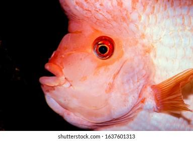 Midas cichlid fish Amphilophus citrinellus - Shutterstock ID 1637601313