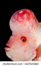 Midas cichlid fish Amphilophus citrinellus - Shutterstock ID 1637621860