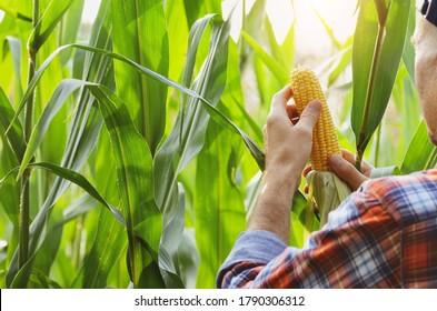 Middle age caucasian Farmer in cap hold fresh organic corn cobs in his hands somewhere in Ukraine. Harvest care concept