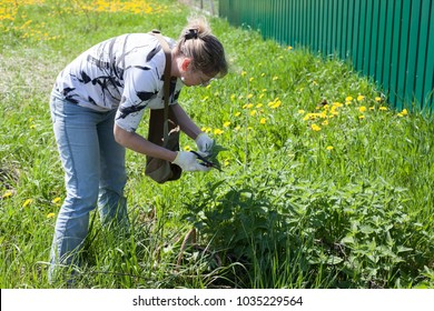 Middle age European woman gathering leaf of fresh nettle on spring meadow with scissors in protective gloves