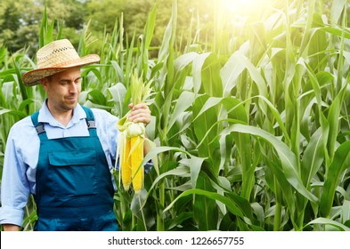 Middle age Farmer hold fresh organic corn cobs in his hands. Harvest care concept