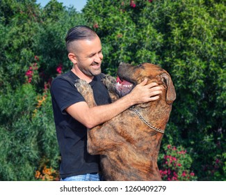 A middle age man in blue T-shirt greets his pet a grown-up brindle male of South African Mastiff. The Boerboel stands on hind legs and almost reaches its master's face.