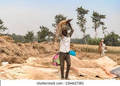 Middle aged Farmer working in his crop field, is Hand Winnwoing the Chaff out of Wheat Grains on hot sunny day of Summer. Hand Winnowing is a traditional technique still used in rural agriculture
