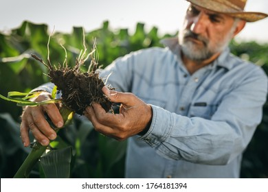middle aged man examine corn in corn field