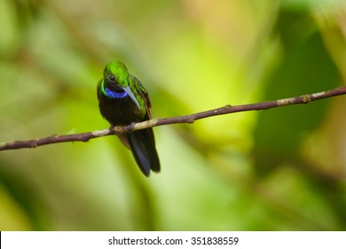 Middle altitude shy green hummingbird Black-throated Brilliant Heliodoxa schreibersii percehd on  twig showing its shining violet throat with green tropical forest in background.