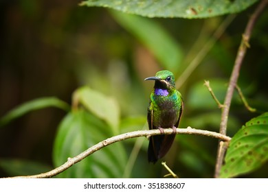 Middle altitude shy green hummingbird Black-throated Brilliant Heliodoxa schreibersii perched on  twig showing its shining violet throat with green tropical forest in background.
