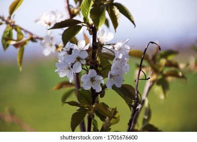 From the middle of April the first fruit trees blossom, like the sweet cherry here.