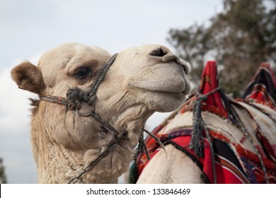 A middle East camel, ready for a rider