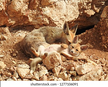 Middle Eastern red foxes, mother vixen and her kit (pup) in a loving and intimate family moment of grooming in their rocky natural habitat, by their burrow (Vulpes vulpes palaestina)