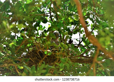 In the middle of the leaves of the tree of jaboticaba a dove rolinha hatching its eggs