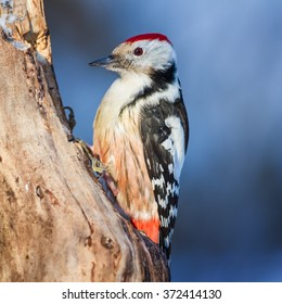 The Middle Spotted Woodpecker