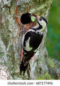Middle Spotted Woodpecker (Dendrocopos medius) in natural habitat