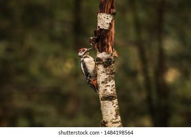 Woodpecker Images Stock Photos Vectors Shutterstock