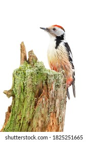 Middle spotted woodpecker, dendrocoptes medius, sitting on stump isolated on white background. Bird with red head observing on tree cut out on blank.