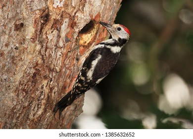 middle spotted woodpecker a front of nesting cavity