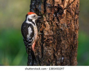 Middle Spotted Woodpecker sitting on a tree