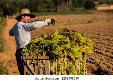 Middle-aged man working in tobacco harvest. City of Criciúma, Santa Catarina-Brazil. November 2018.